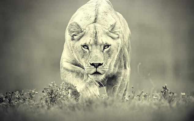 Animales-en-video-leon-cazando